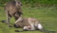 Kangaroo Not Only Boxes But Knows How To Apply the Sleeper Hold.